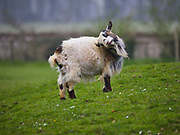African Pygmy Goat at the Cotswold Wildlife Park, Oxfordshire, UK