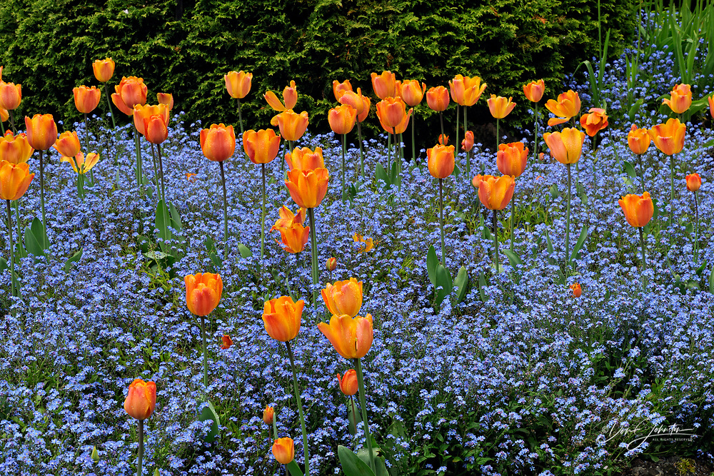 Butchart Gardens in spring- Tulips and forget-me-nots in the Sunken Garden, Victoria, British Columbia, Canada
