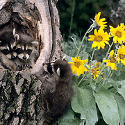 Raccoon, (Procyon lotor) Young in hollow tree. Montana.  Captive Animal.