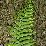 Cinammon Ferm, Osmundastrum cinnamomeum