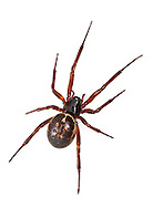 """Steatoda nobilis - Female. A Theridiid spider and the most potent """"False Widow"""" having colonised the UK probably from Madiera and the Canary Islands. It is now extremely common in and around houses and the wider countryside in Southern Britain."""