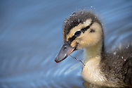 Duckling swimming and chewing a twig at Eldridge Park in Elmira in the Finger Lakes Region of Upstate, New York.