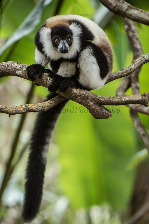 Black and white ruffed lemur (Varecia variegata)<br /> East Madagascar<br /> Palmarium<br /> MADAGASCAR<br /> ENDEMIC<br /> Critically endangered