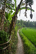 Bali, Indonesia - September 23, 2017: A dirt footpath parallels a rice paddy in the lush mountainous landscape around Munduk, Bali.