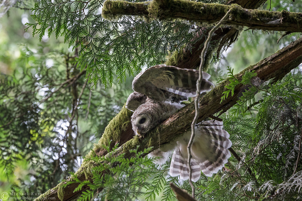 A Barred Owl (Strix varia) fledgling resting on a branch while stretching its wings.  Photographed at Campbell Valley Park in Langley, British Columbia, Canada.