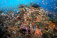 Sweepers crowd over a densely packed Coral head<br /> <br /> Shot in Indonesia