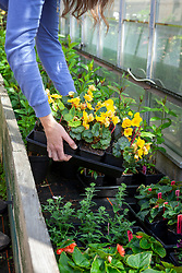 Putting tray of tender begonia plants into a coldframe to harden off