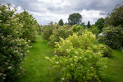 The National Collection of elders at Cotswold Garden Flowers