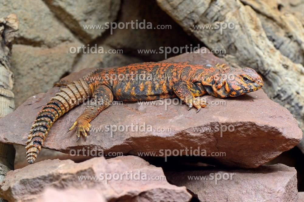 THEMENBILD - Zentralsahara-Dornschwanz, Nordafrikanische Dornschwanzagame (Uromastyx acanthinurus), captive, Vorkommen Nordafrika // Central algae thornbill, North African thornworm (Uromastyx acanthinurus), captive, Occurrence of North Africa. EXPA Pictures © 2017, PhotoCredit: EXPA/ Eibner-Pressefoto/ Schulz<br /> <br /> *****ATTENTION - OUT of GER*****