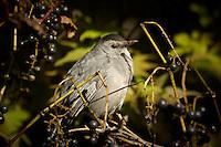 Grey Sparrow like bird with wild grapes.
