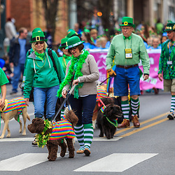 York, PA / USA - March 12, 2016: Therapy dogs in green walk in the annual Saint Patrick's Day Parade.
