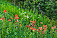 Indian paintbrushes growing on a meadow hill on Mount Rainier. One of the most beautiful sights in the Pacific Northwest is to see huge sweeping views of subalpine meadows full of Indian paintbrushes, mixed with lupines, asters, and other summertime delights!