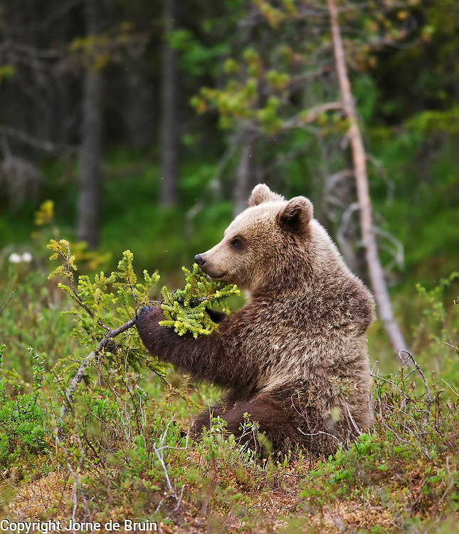 An Eurasian Brown Bear Cub sits in a swamp in Finland playing with a small tree.