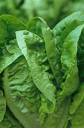 Lettuce 'Little Gem'