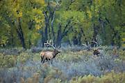 Bull elk during the autumn rut in Montana