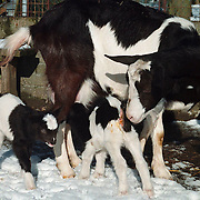 Geitjes geboren kinderboerderij Huizen
