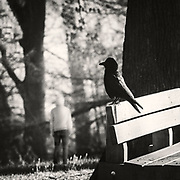 Single crow on a park bench and a person standing in the distance - monochrome photograph