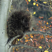 Porcupine, (Erethizon dorsatum) In aspen tree. Fall.  Captive Animal.