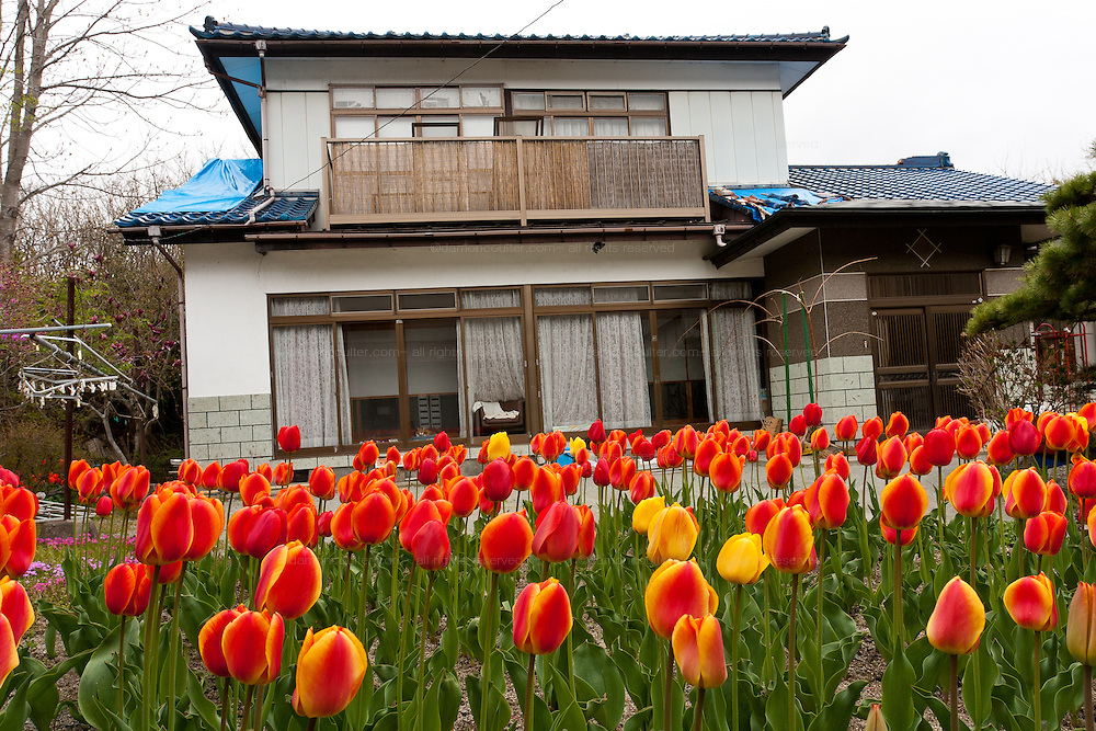 Tulips bloom outside an empty house in the abandoned village of tsushima in rural Fukushima near the exclusion zone, Fukushima Japan. Wednesday May 5th 2011. A 20 kilometre exclusion zone was set up on April 22nd to limit exposure to radiation from the Fukushima Daichi nuclear power station that was damaged in the earthquake and tsunami of March 11th 2011
