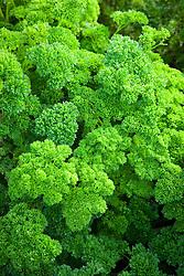 Parsley 'Marunka'. Petroselinum crispum. English curvy leaved parsley