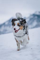THEMENBILD - ein junger Hund (Australian Shepherd) läuft auf einer verschneiten Wiese, aufgenommen am 30. Dezember 2020 in Zell am See, Oesterreich // a young dog (Australian Shepherd) runs on a snowy meadow, in Zell am See, Austria on 2020/12/30. EXPA Pictures © 2020, PhotoCredit: EXPA/Stefanie Oberhause