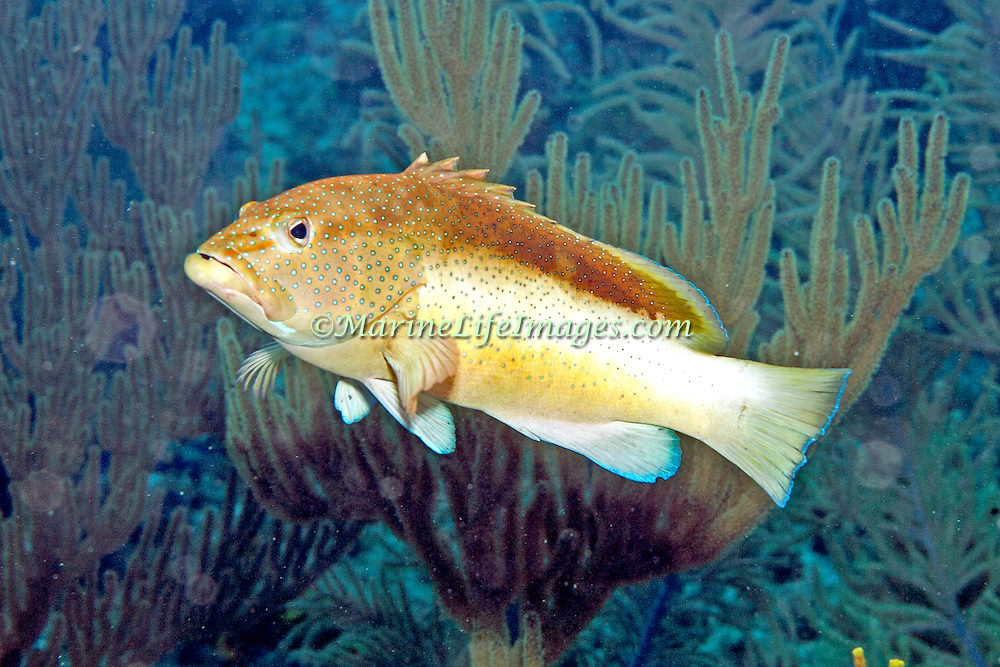 Coney, bicolor phase, inhabit reefs in Tropical West Atlantic; picture taken Little Cayman.