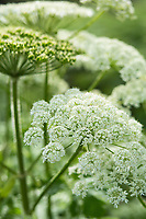 Heracleum maximum, cow parsnip, Oregon.