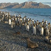 Young Southern Fur Seals relax beside a  flock of King Penguins  near their rookery at Salisbury Plain, South Georgia, Antarctica.