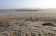 Sheep grazing frosty slope of Windmill Hill, a Neolithic causewayed enclosure, near Avebury, Wiltshire, England, UK