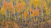 Aspen trees in autumn splendor near Ridgway, in Colorado's San Juan Mountains.