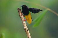 Twelve-wired Bird of Paradise (Seleucidis melanoleuca)