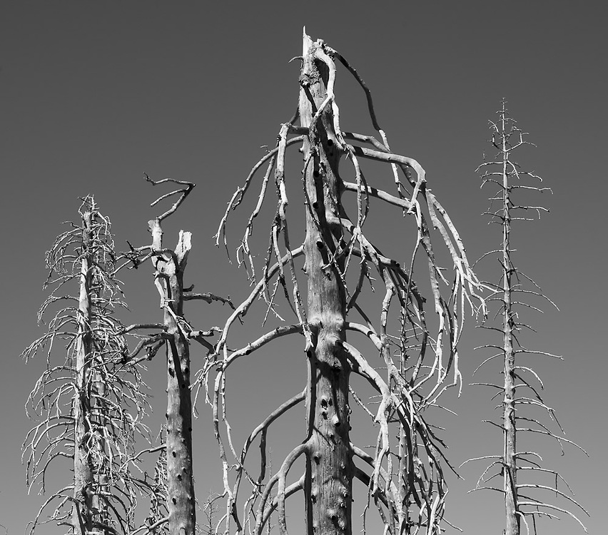 In the aftermath of a wildfire, these burned out trees sit in a barren landscape on the slopes of the Snow Mountain Wilderness.
