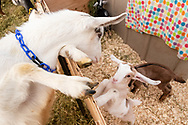 A goat check out the baby goats at Edgwick Farm in Cornwall, N.Y., on Jan. 19, 2020.