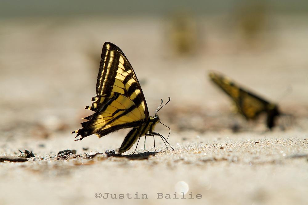Butterflies on beach along the Salmon River in Idaho.