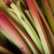 Fresh Rhubarb grown at Verrill Farm, Concord, MA USA