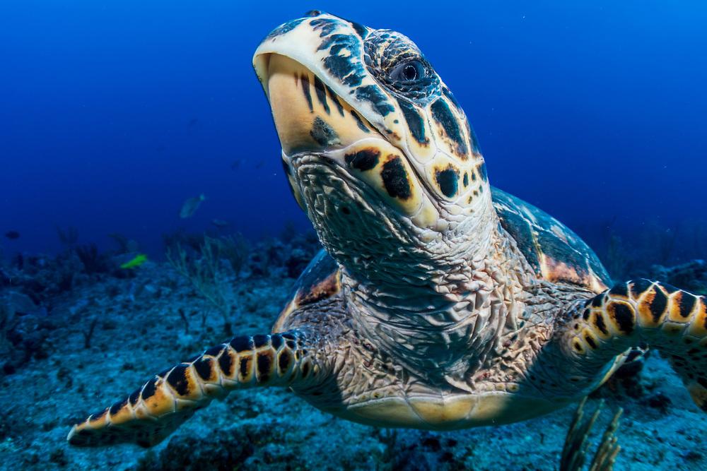 Hawksbill sea turlte (Eretmochelys imbricata) close up in The Bahamas.