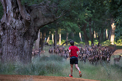 Windsor, UK. 21 July, 2020. A man scatters red deer as he runs in Windsor Great Park. There is a herd of around 500 red deer within the deer park enclosure in Windsor Great Park, all descended from forty hinds and two stags introduced from Balmoral Estate in 1979 by the Duke of Edinburgh.