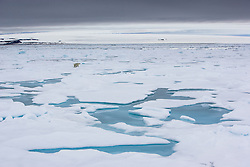 Polar Bear in Spitsbergen, Svalbard