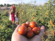 Organic Tomato garden Family pick home grown tomatoes. Photographed in Israel