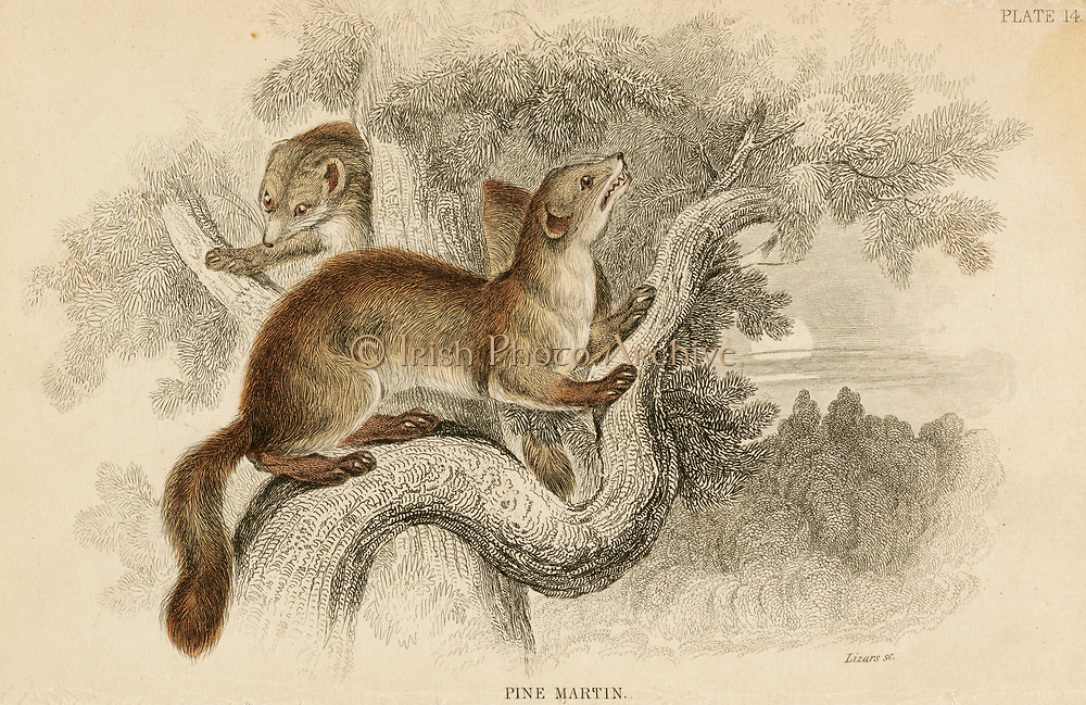 'Pine Marten - Maretes martes: European weasel-like carnivore of the Mustelidae family.  Hand-coloured engraving from ''A History of British Quadrupeds'', Edinburgh, 1838.'