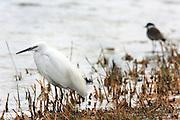 Egretta garzetta - Little Egret, Israel winter, January 2009.