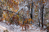 Autumn's snowfall in beech forest, Bieszczady National Park, Poland