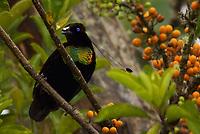 Lawes' Parotia Bird of Paradise (Parotia lawesii) male foraging.