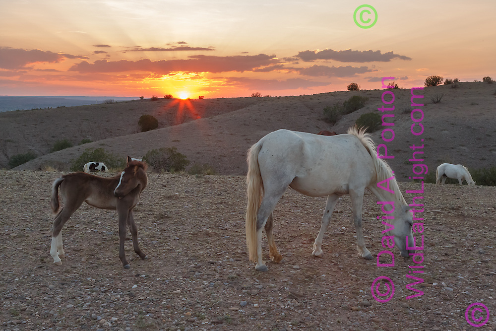 Mustang mare with filly at sunset in the New Mexico landscape near Placitas. Horses roaming free on land near Placitas have long been referred to as the Placitas wild horses. © David A. Ponton