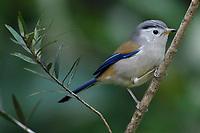 Blue-winged Minla or Siva, Minla cyanouroptera, Baihualing, Gaoligongshan, Yunnan, China