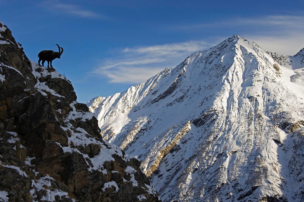 25.11.2008<br /> Alpine Ibex (Capra ibex) in alpine landscape.<br /> Gran Paradiso National Park, Italy