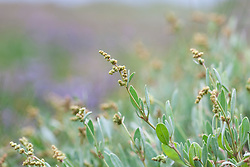 Sea Purslane, growing wild on the salt marsh at Stiffkey, Norfolk. Halimione portulacoides syn. Atriplex portulacoides