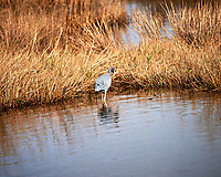 Little Blue Heron. Black Point Wildlife Drive, Merritt Island National Wildlife Refuge. Image taken with a Nikon Df camera and 300 mm f/4 lens (ISO 110, 300 mm, f/4, 1/1250 sec).