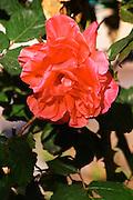 Red flowers in the garden Clos des Iles Le Brusc Six Fours Cote d'Azur Var France