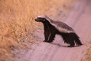 A ratel, or a honey badger (Mellivora capensis) fearlessly walking through the African bush with determination with a black-backed jackal on its heels, Savuti, Botswana
